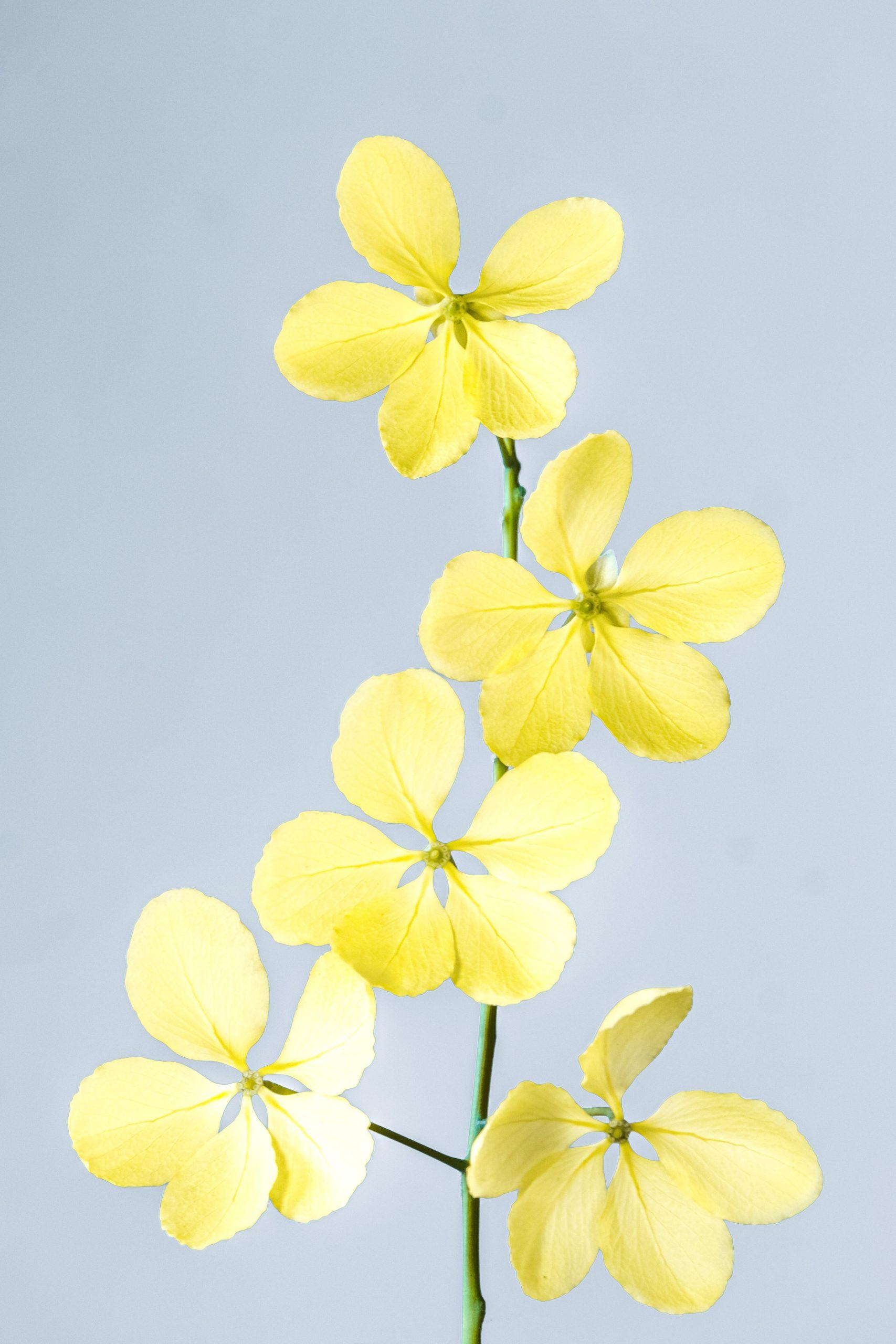 Zweig mit gelben Blüten vor grauem Hintergrund